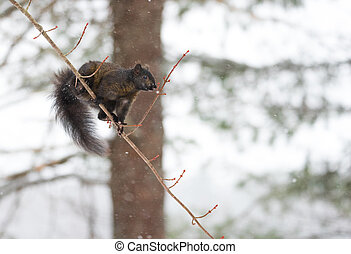 colorido, esquilo, árvore, cinzento, equilíbrios, pretas,...