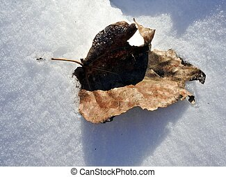 poplar leaf on snow covered with frost - Winter frost on an...