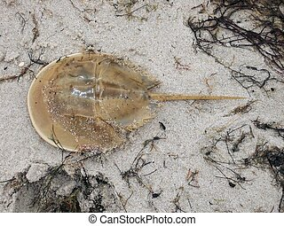 Horseshoe crab in Seaweed - Horseshoe crab in seaweed