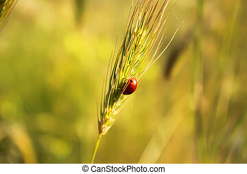 Ear of wheat - Photo of ear of wheat with ladybug on it