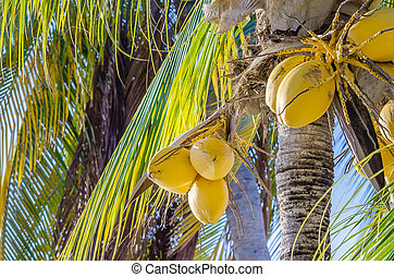 Coconut palm tree at the mambo beach grove in Curacao