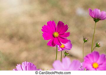Beautiful Cosmos flowers in summer season