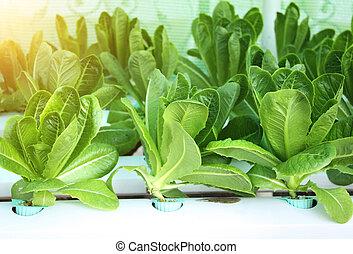 農場, 萵苣, 綠色, 沙拉, 營養液培養