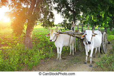 Two asian oxen harnessed to a wooden cart. On green sunny...