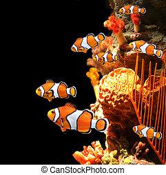 Sea corals and clown fish in marine aquarium. On black...