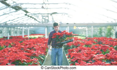 Happy gardener going to camera, holding red flowers and smiling 4K