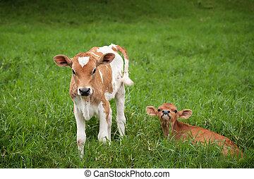 Costa Rican calves