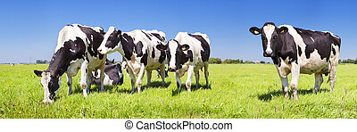 Cows in a fresh grassy field on a clear day - Black and...