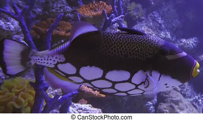 Clown triggerfish in saltwater aquarium stock footage video...