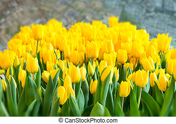 yellow tulip texture holland symbol - Colorful yellow tulips...