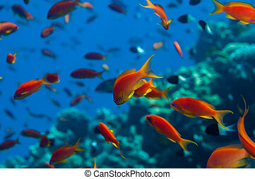 Anthias shoal - Lyretail Anthias {Pseudanthias squamipinnis}...