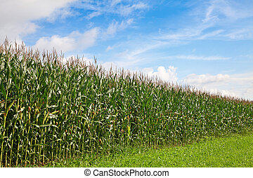 Corn field under blue sky and clouds