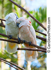 Pair of cockatoo on the tree