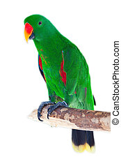 Male eclectus parrot isolated on white