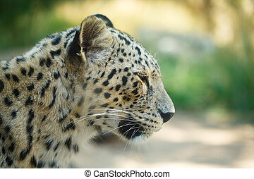 Leopard animal head close up - Leopard head close up in the...
