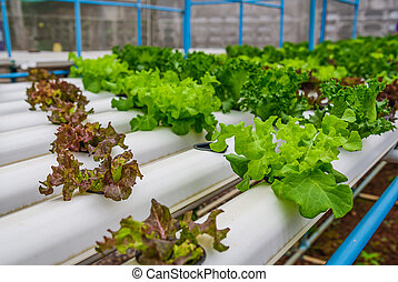 Green hydroponic organic salad vegetable in farm, Thailand. Selective focus