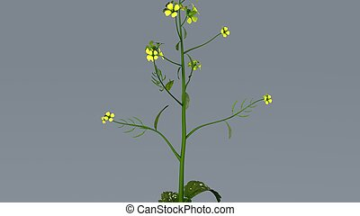 Mustard Plant - Mustard plants are any of several plant...