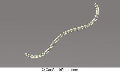 Nostoc is a genus of cyanobacteria found in various...