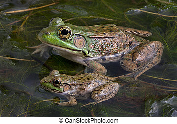 Two bull frogs - A baby and adult bull frog are sitting in a...