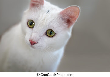 White cat with yellow eyes closeup