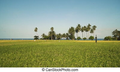 Green rice field.. Philippines - Rice field with yellowish...