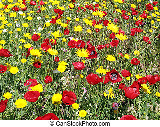 Ramat Gan Park poppies and daisies April 2007 - Poppies and...