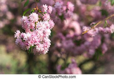 Spring blooming pink flowers on tree, nature background,...