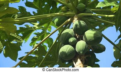 Papaya tree with fruits. - Papaya tree and bunch of fruits....