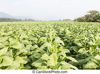 Field of Nicotiana tabacum - Field Nicotiana tabacum, the...