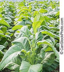 Field of Nicotiana tabacum - Field Nicotiana tabacum, the...