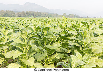 Field Nicotiana tabacum, the Common tobacco is an...