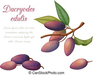 Vector illustration of fruit dakriodes executed in a...
