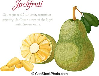 Vector illustration of a jack fruit, made in a realistic...