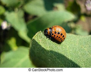The Colorado beetle sits on a potato leaf and eats.