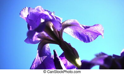 Close Up Of Purple Iris Flowers