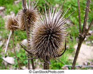 Dry thistle - Meadows and fields in autumn - dry thistle