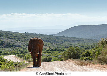 Bush Elephant coming from the fields