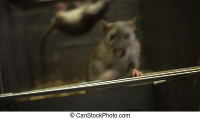 Gray Rat In The Darkness - gray rat peering out of the...