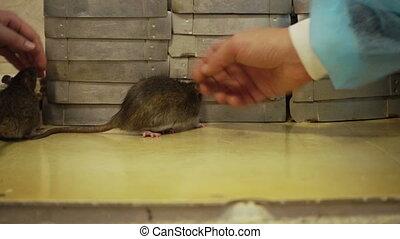 Two Gray Rats Fighting - Two gray rats fighting in a dark...