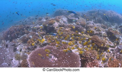 School of Butterflyfish on a coral reef. Many Anthias,...