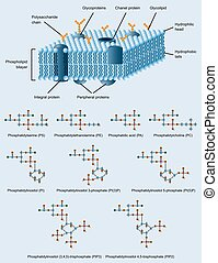 membrane structure - picture of cell membrane structure with...