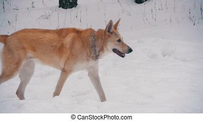 Dog Walking in Winter Forest. Slow Motion in 96 fps. Winter...