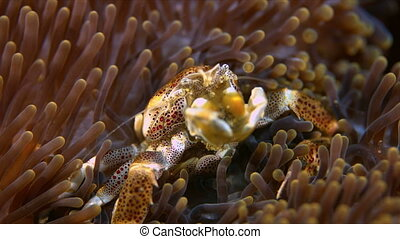 Spotted Porcelain Crab in a sea anemone. Porcellanidae,...