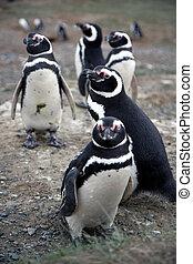 Magellan penguins on an island - Magellan penguins in pairs...