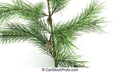 Conifer Leaf_front - The leaves of conifers protect from...