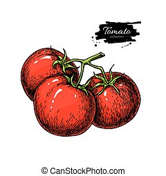 Tomato vector drawing. Isolated tomatoes on branch....
