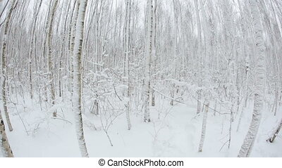 Winter forest with trees in snow. Fisheye lens 15/2,8.