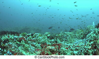 Coral reef with plenty of fish. Snapper, Anthias, Damselfish...