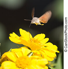 Sphingidae, known as bee Hawk-moth, enjoying the nectar of a...