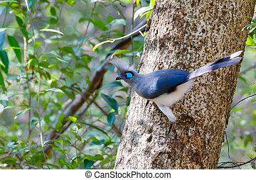 Crested coua bird (Coua cristata) Madagascar - Beautiful...